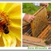 Jual Lebah Madu Koloni Siap Ternak