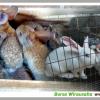 Program Kemitraan Ternak Kelinci