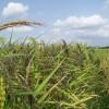 Bertani Beras Hitam dan Organik, Untungnya Lebih Besar