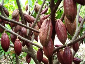 Peluang Usaha Budidaya kakao