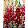 benih bunga Anthirrinum