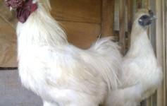 Peluang Usaha Ayam kapas