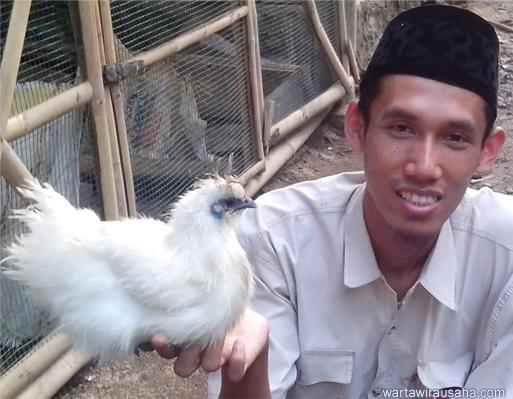 wirausaha bisnis ayam kapas